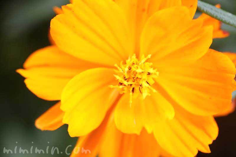 キバナコスモス(オレンジ色)