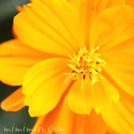 黄花秋桜(オレンジ色)