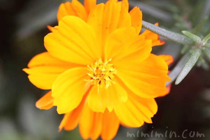 キバナコスモスの花(オレンジ色)