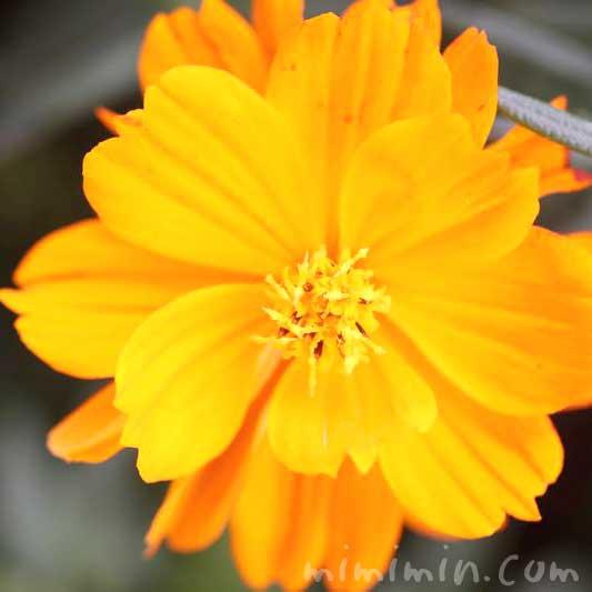 黄花秋桜の花(オレンジ色)の写真