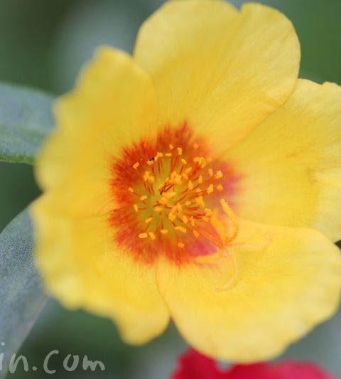 ポーチュラの花の写真・花言葉