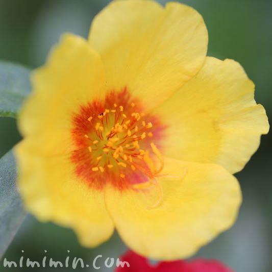 黄色のポーチュラカの花の写真