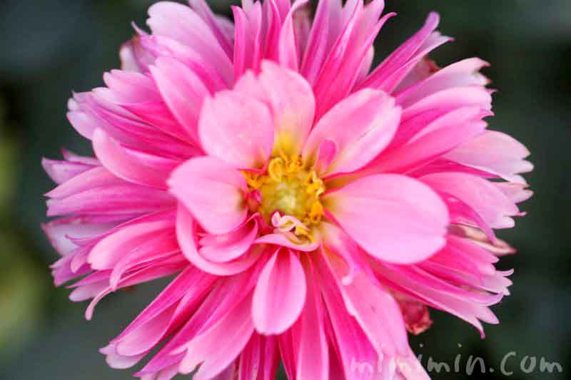 ダリアの誕生花の写真