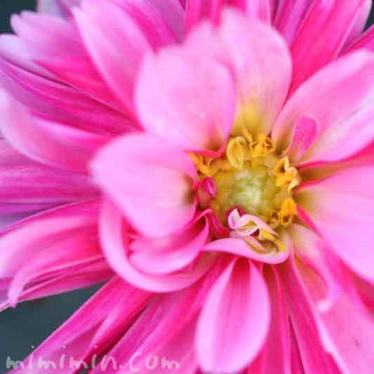 ダリアの花言葉の画像