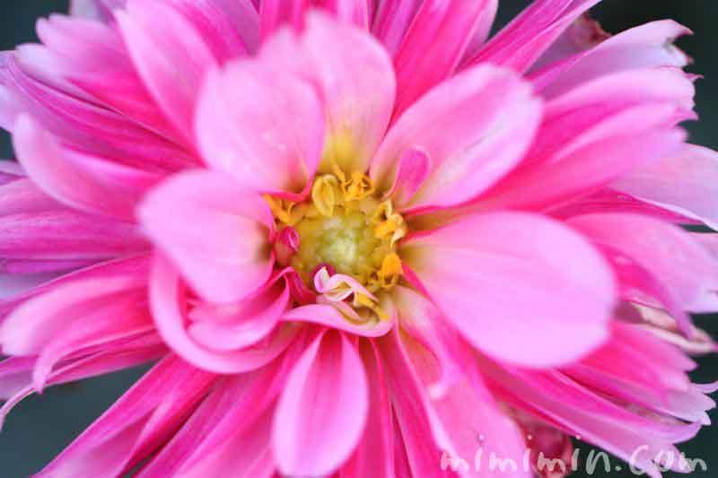 ダリアの誕生花