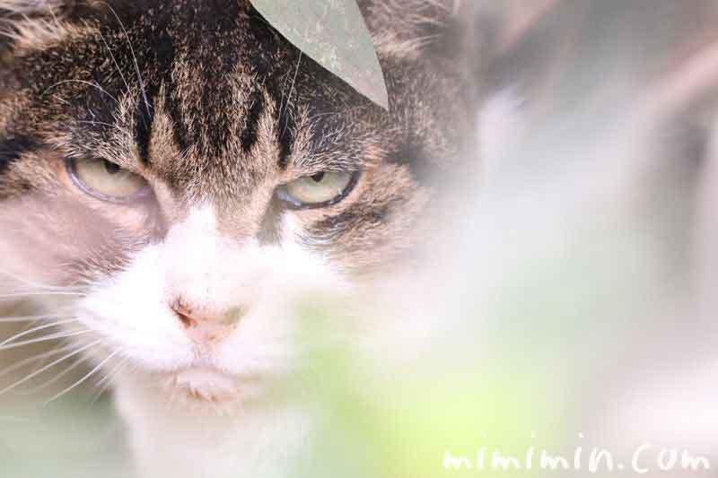 目つきの悪い虎猫の写真