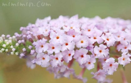 ブッドレアの花の写真 花言葉の画像