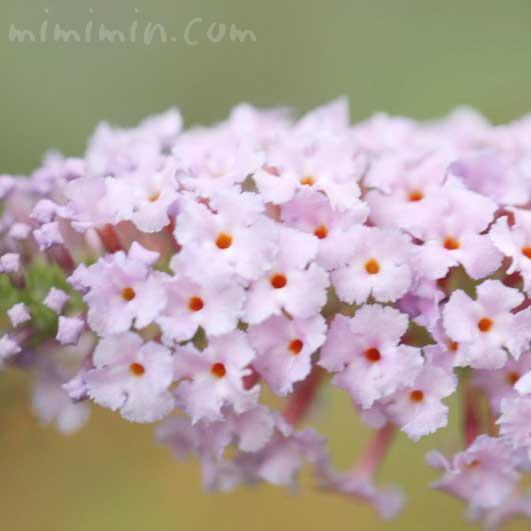 ブッドレアの花の写真と花言葉