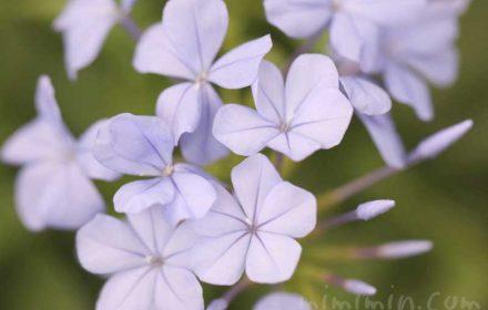 プルンバーゴの花の写真 花言葉の画像