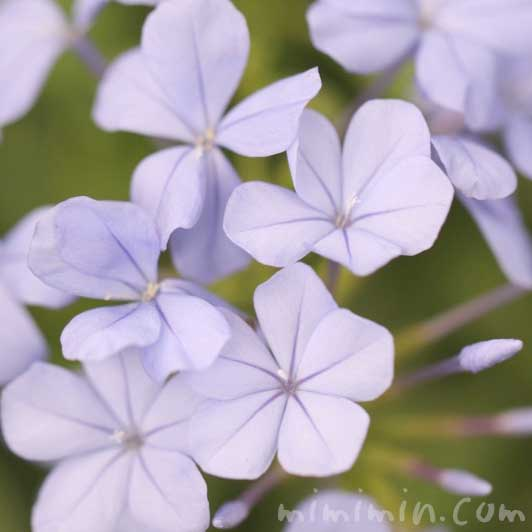 プルンバーゴの写真  花言葉の画像