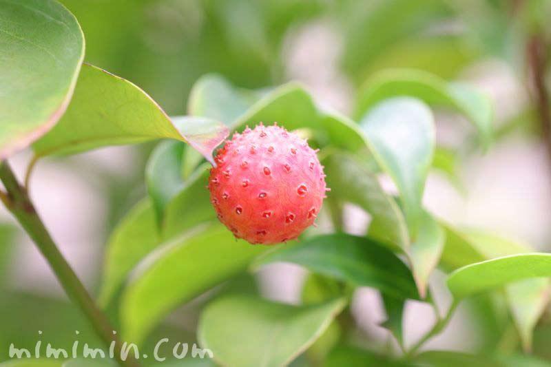 赤い実(ヤマボウシ)の画像