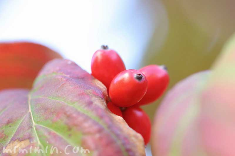 ハナミズキの実の写真と花言葉の画像