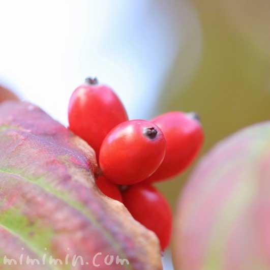 花水木の赤い実の写真と花言葉