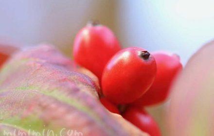 ハナミズキの赤い実の写真と花言葉