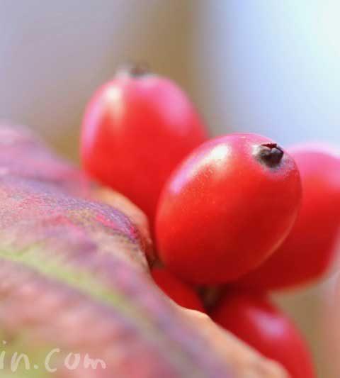 ハナミズキ(花水木)の赤い実の写真・ハナミズキの花言葉