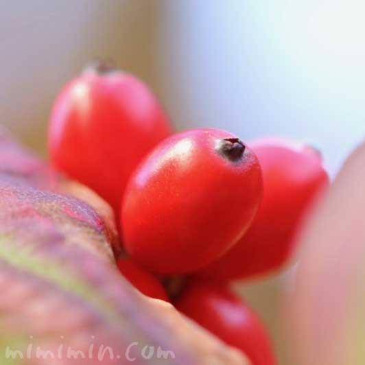 花水木の赤い実の写真 花言葉の画像