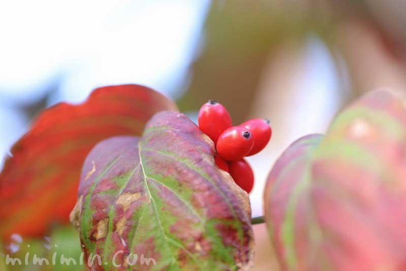 ハナミズキの赤い実の写真 花言葉の画像