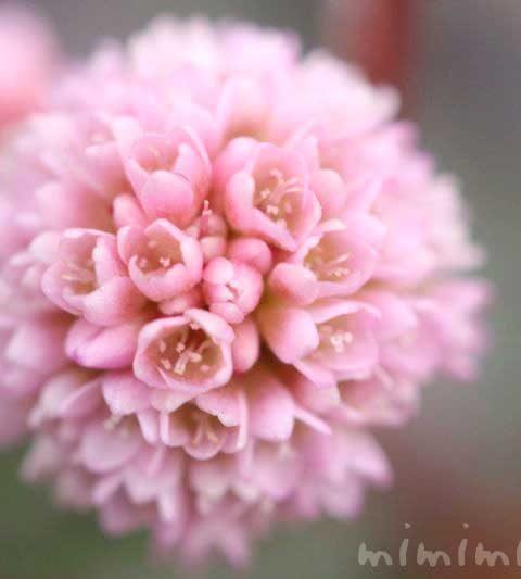 ヒメツルソバ(ポリゴナム)の花の写真・花言葉・名前の由来