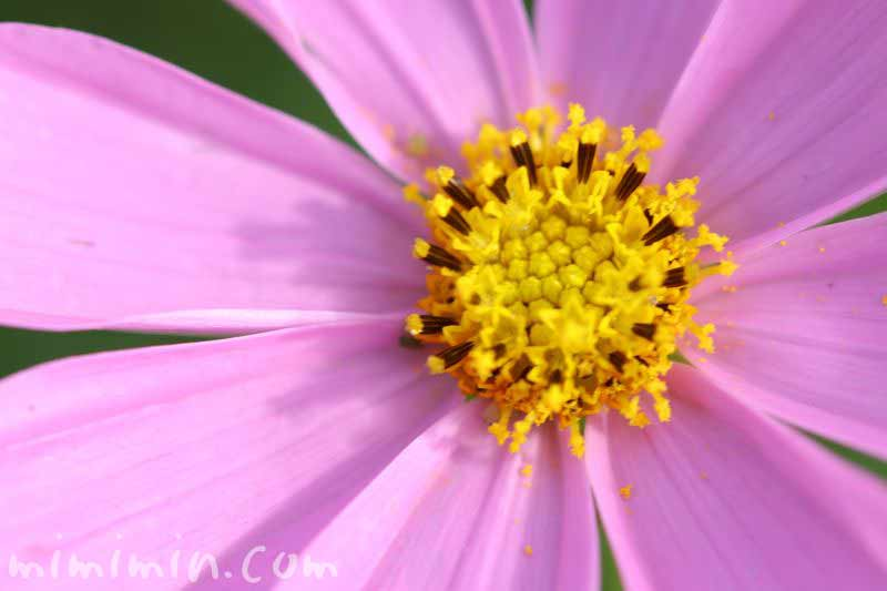 秋桜の花(コスモスの花言葉)の写真