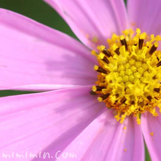 コスモスの花(コスモスの花言葉)の画像