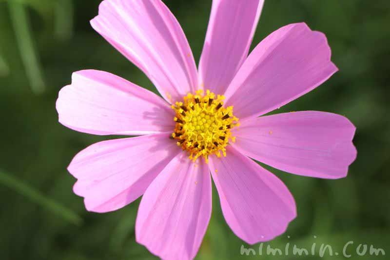 コスモスの花(花言葉・誕生花)の画像