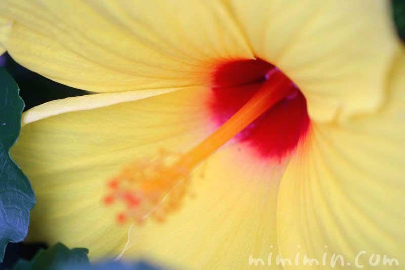 黄色のハイビスカスの花