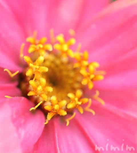 ジニア(百日草・ヒャクニチソウ)の花言葉・ジニアの花の写真