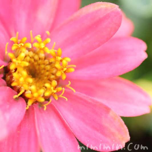 ジニア・ピンクの画像