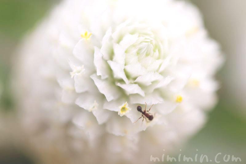 白い千日紅の花