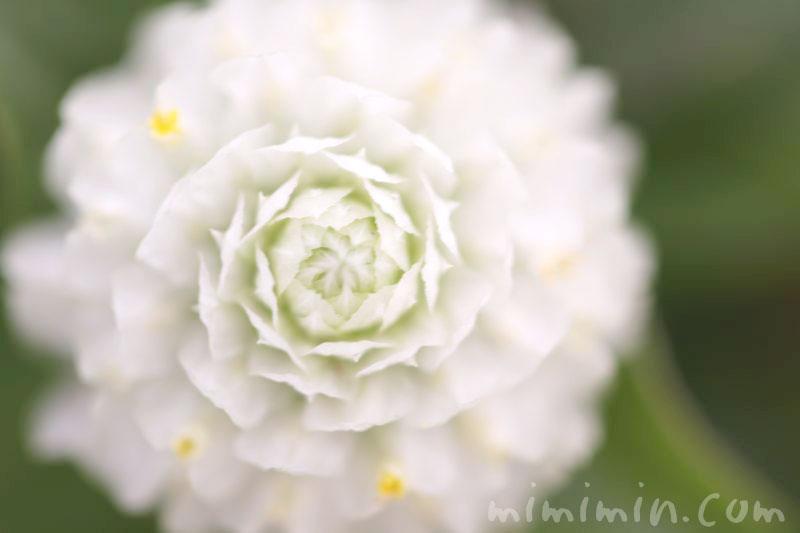 白いセンニチコウ