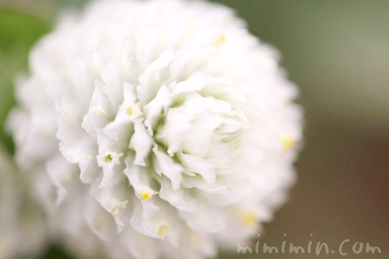 白いセンニチコウの花