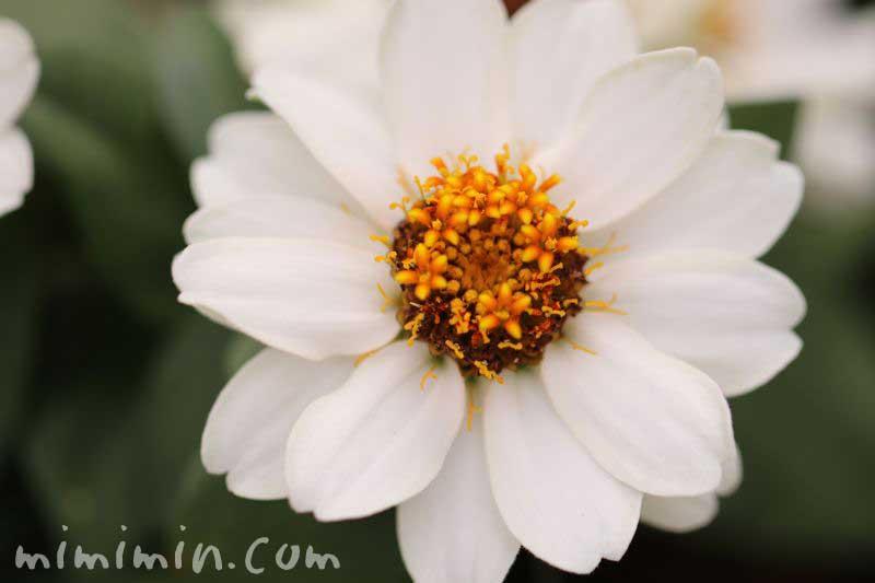 白い百日草の花の画像