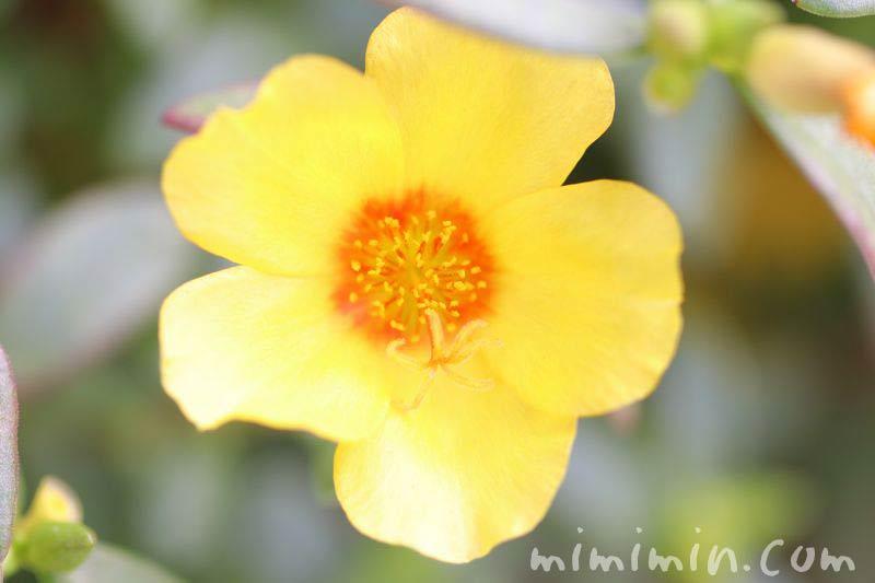 ポーチュラカ・黄の画像