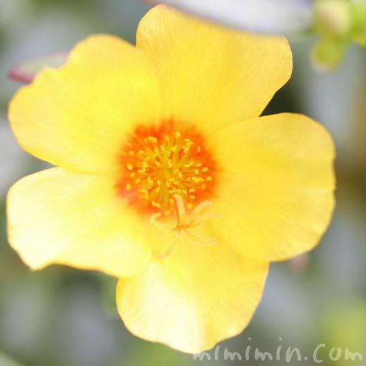 ポーチュラカ・黄色の写真