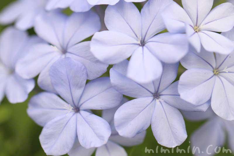 瑠璃茉莉 食虫植物の画像