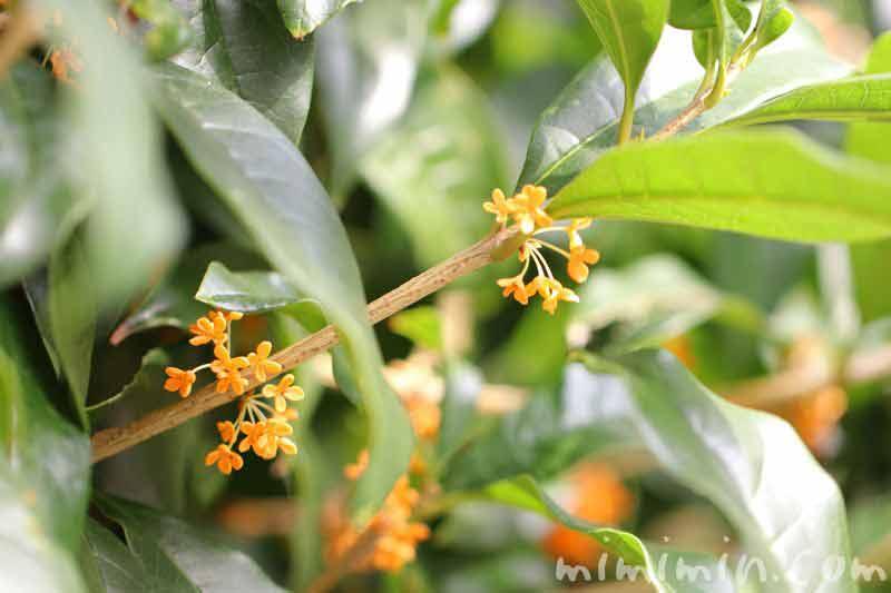 金木犀の花の写真