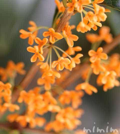 キンモクセイ(金木犀)の花の写真・花言葉・名前の由来