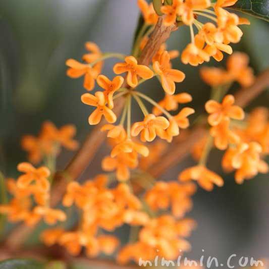 金木犀の花 返り咲きの写真