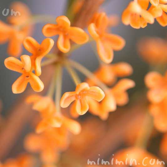 キンモクセイ 二度咲きの写真