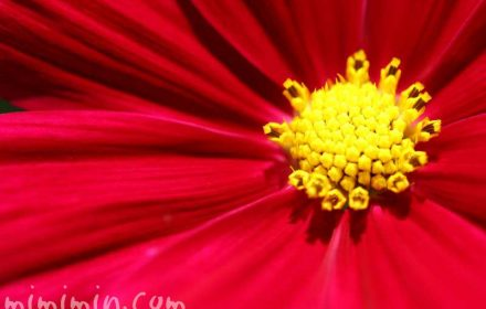 赤い秋桜の画像