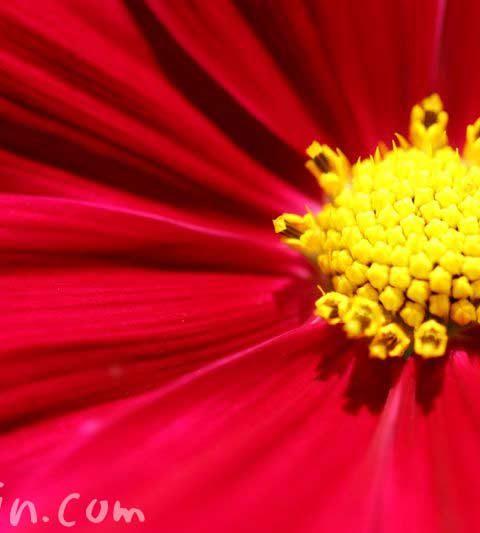 コスモス(秋桜)の花の写真・花言葉