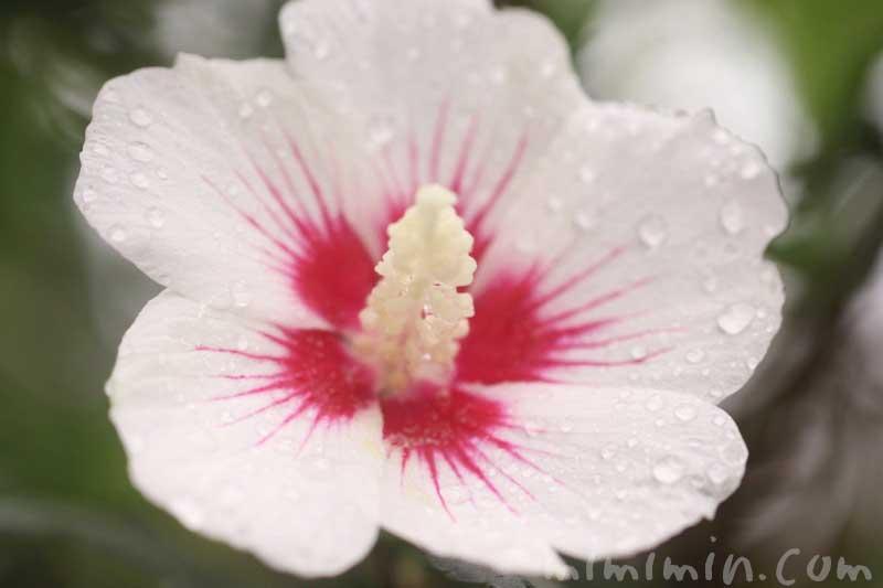 木槿の花(白色)の写真と花言葉の画像
