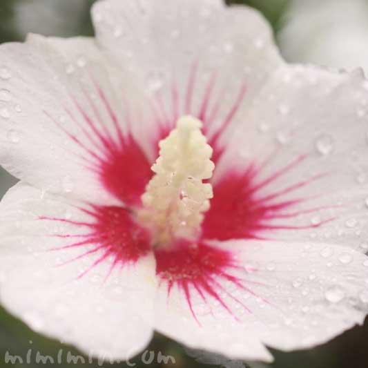 ムクゲ(白色)の花の写真