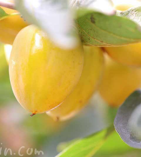 柿の花言葉・柿の名前の由来