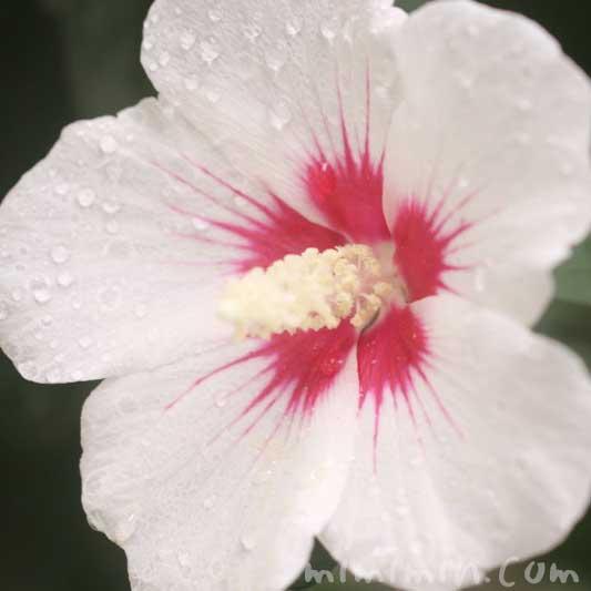 木槿の花(白)の写真