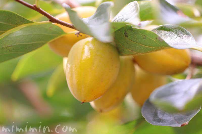 柿の実の画像