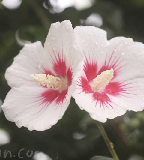 ムクゲの花言葉・ムクゲ(木槿)の花の写真