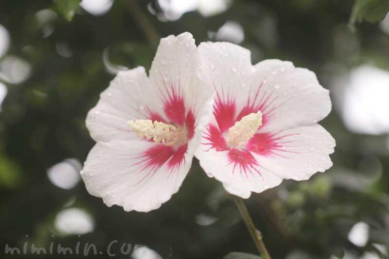 木槿(白)の写真の画像