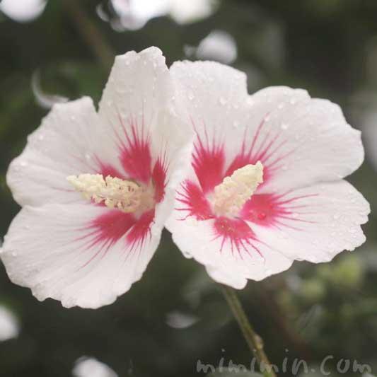 木槿の花(白)の写真 花言葉