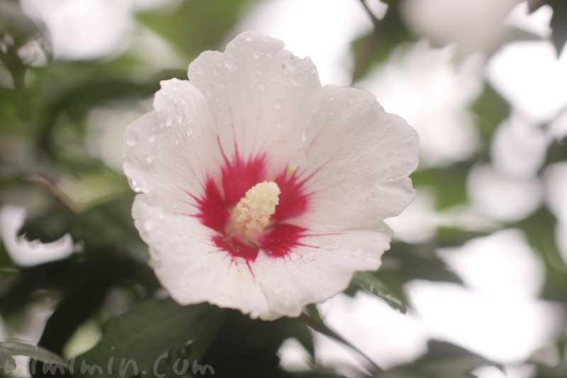 ムクゲ(白色)の写真の画像